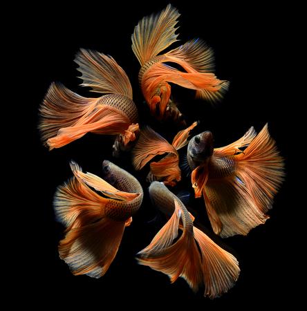 aquarium hobby: Orange fancy betta or Saimese fighting fish swiming and show the motion of dress fin photo in flash studio lighting. Stock Photo