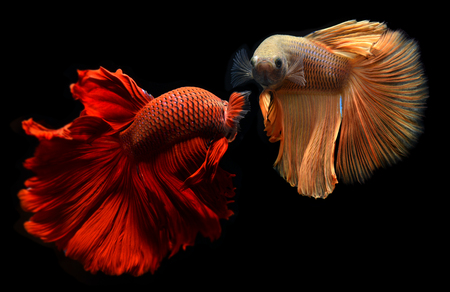 Fancy red and orange Betta or Saimese fighting fish swiming and show the motion of dress fin. Фото со стока
