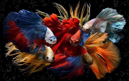 Mixed colorful fancy betta saimese fighting fish motion and colour in black background. Stock Photo