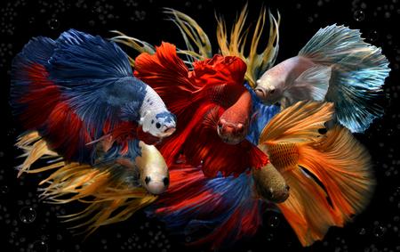Saimese 戦闘魚の動きと黒の背景の色は、カラフルな派手なベタを混合しました。