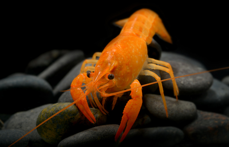 Young crayfish lobster with small rock in fish tank and black background.
