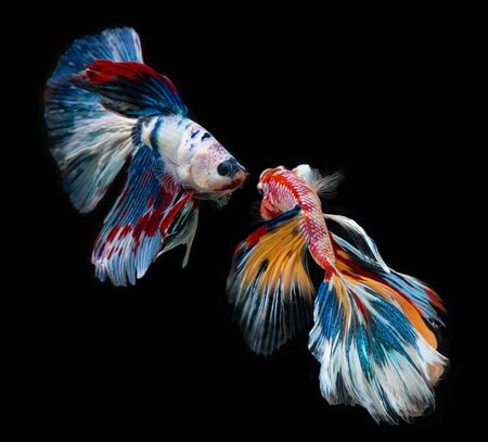 Fancy nemo betta or Siamese fighting fish in red and orange mixed with colorful dot in black background. Banque d'images