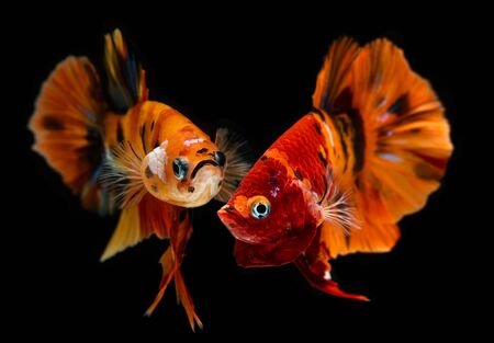 Fancy nemo betta or Siamese fighting fish in red and orange mixed with colorful dot in black