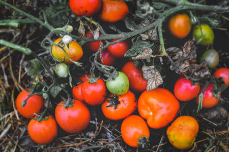 Tomatoes with old leaf and branch with outdoor low lighting.