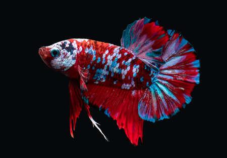 Koi galaxy fancy betta Siamese fighting fish  with black background.
