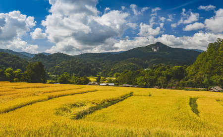 Yellow golden rice terraces field in mouantain view with blue sky and clouds. 版權商用圖片