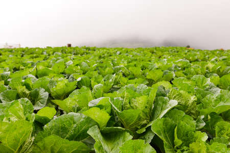 Chinese cabbage field on a hilltop in the fog.