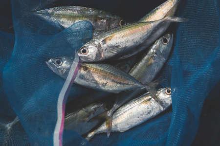 Mackerel sardine fishes in fishery blue seine with outdoor low lighting.