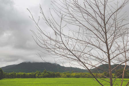 Lanscape view of green rice meadow farm field and mountain with dark sky lighting. Banco de Imagens