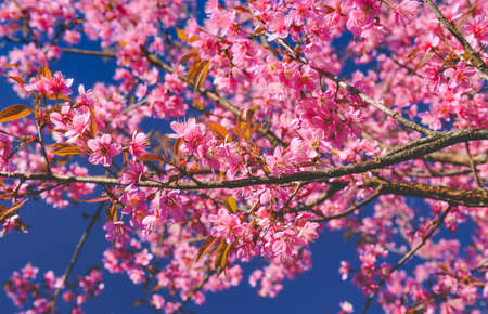 Wild Himalayan Cherry flowers with sun lighting and blue sky. Banco de Imagens