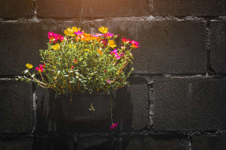 Common Purslane flowers in a pot against a dark wall.
