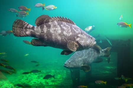 Giant grouper or brown spotted grouper fish swimming under green sea water with sun lighting.