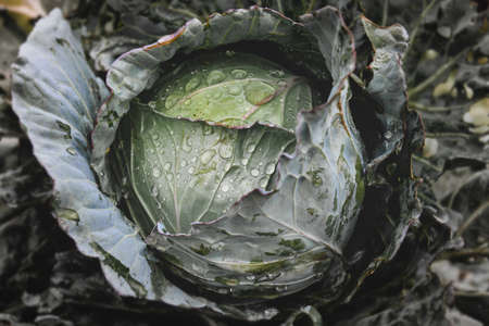 Fresh cabbage in garden with low lighting and dark shadow.