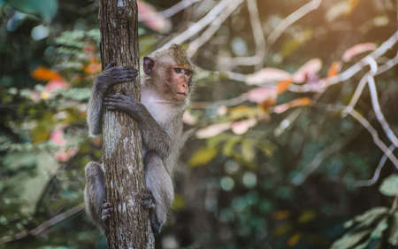 Asian Macaque monkey hanking and looking on the branch in the forest.