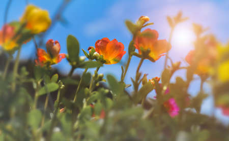 Common Purslane flowers with blue sky and sun lighting.