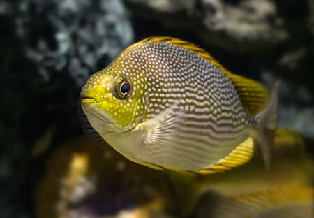 Live Java rabbitfish swimming in the aquarium tank with low lighting. 版權商用圖片