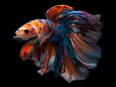 Half moon giant betta Siamese fighting fish movement with black background.