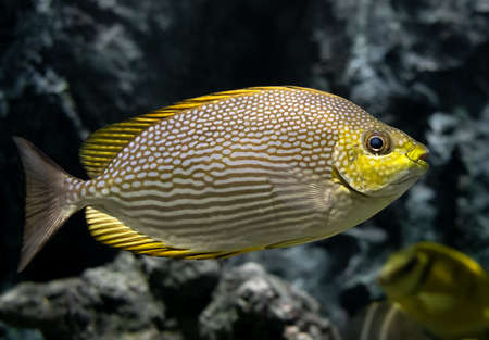 Live Java rabbitfish swimming in the aquarium tank with low lighting. Banco de Imagens