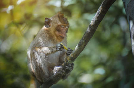 Asian Macaque monkey relaxing on the branch in the forest.
