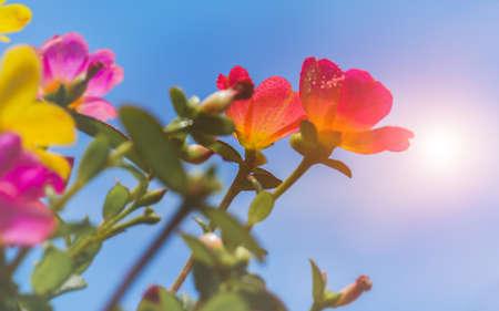 Common Purslane flowers with blue sky and sun lighting. 版權商用圖片 - 163963561