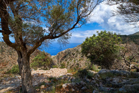 Typical Greek landscape, hill with fresh spring bushes. Big olive tree, paved rocky path. Blue sky, clouds. Sea in background. Akrotiri, Crete, Greece