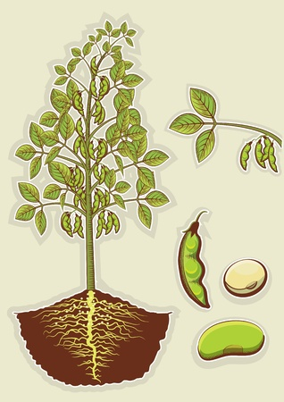 Soybean plant green illustration isolated
