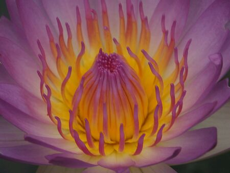 close: Close up of purple lotus pollen