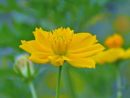 close: Close up of yellow cosmos flower in green blur background.