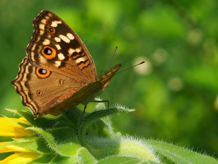 sepal: Close up of butterfly rest on the sepal. Stock Photo
