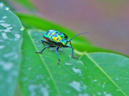 Close up of jewelbug on leaf