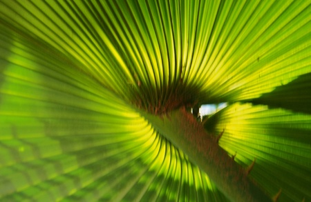 Palm leaf texture in sunlight, shoot from behind