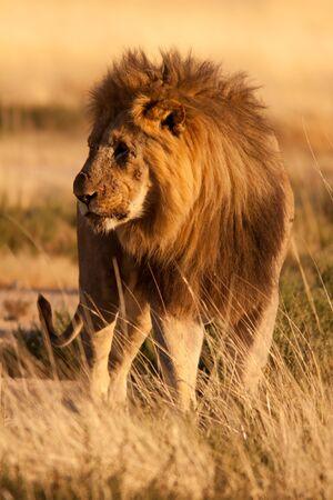 Injured old lion Stock Photo