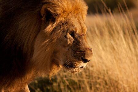 old injured lion
