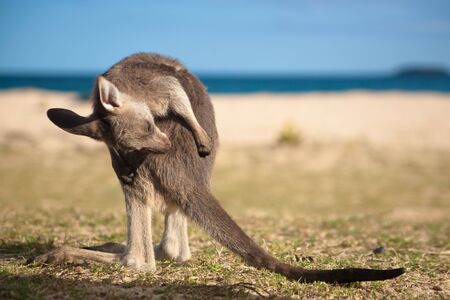 Baby kangaroo Stock Photo