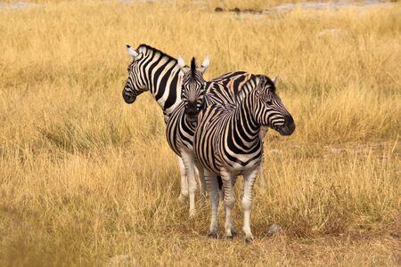 zebra by 3