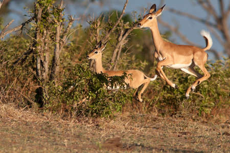 Impalas in run