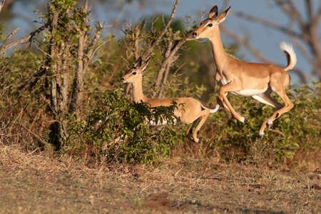 Impalas in run