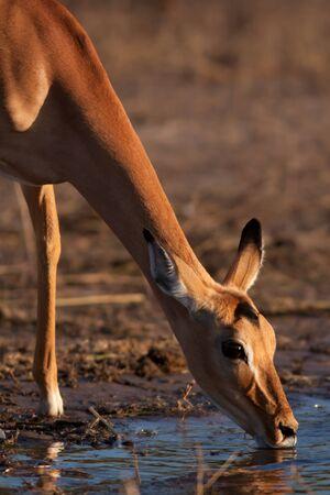 Impala on river chobe