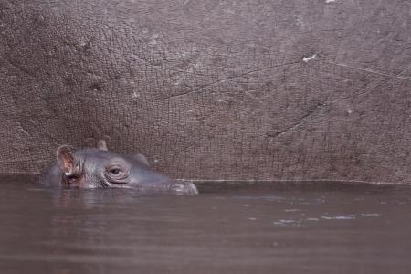 baby hippopotamus Stock Photo
