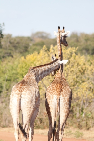 couple of giraffe in botswana