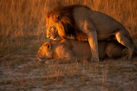 sexual reproduction: couple of lions