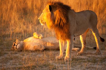 couple of lions