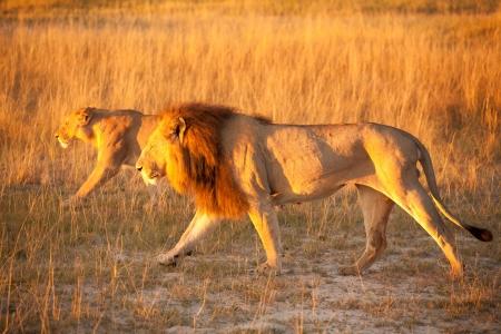 botswana: couple of lions