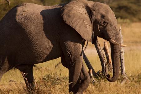 elephant crossing legs Stock Photo