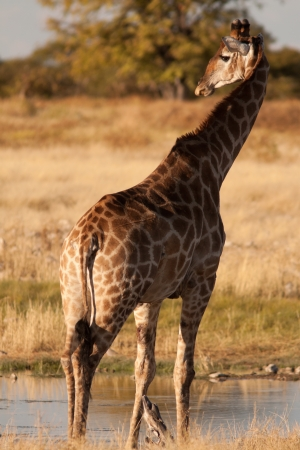giraffe on waterhole