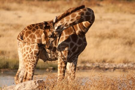 pozo de agua: limpieza de la jirafa
