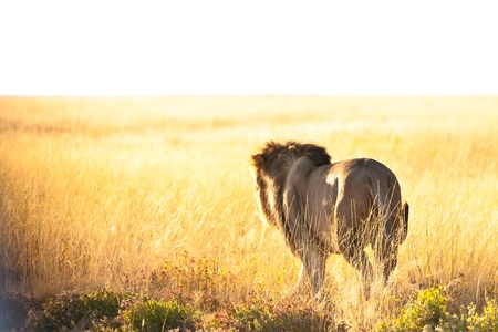 back view of a lion