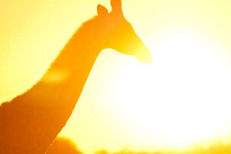 giraffe in flare in botswana
