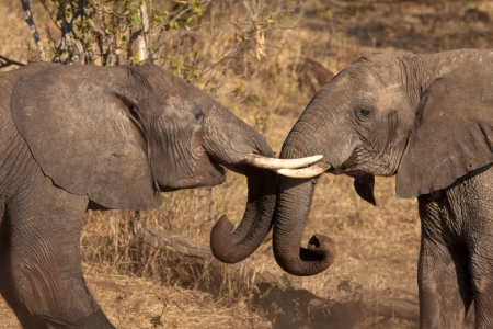 elephant are playing