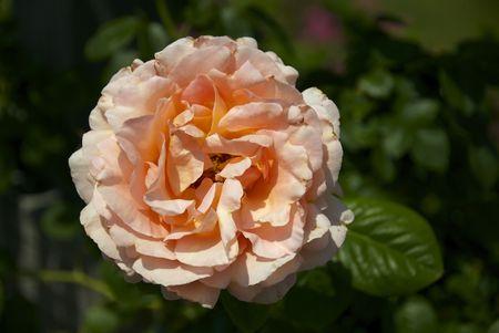 dramatically: A dramatically light orange rose